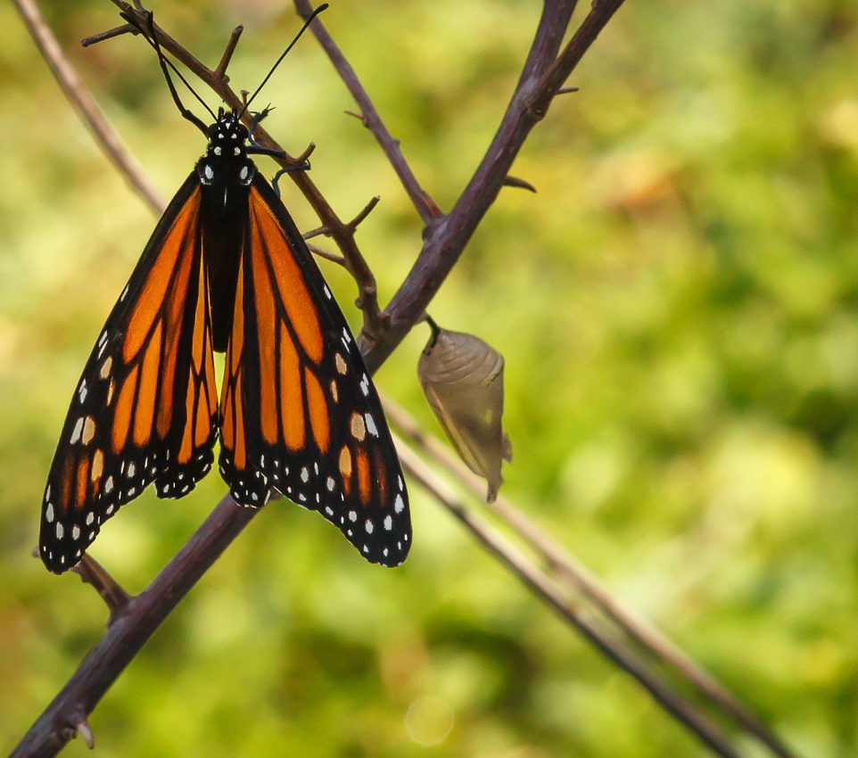 Butterfly-Cocoon-1