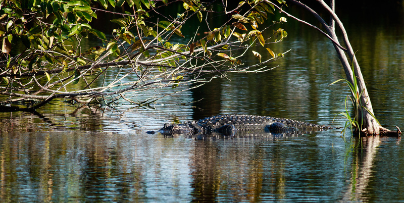 Gator in Waiting